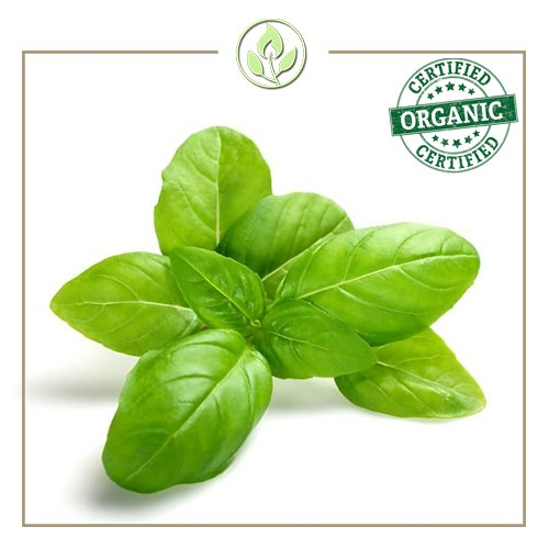 Sweet Basil Pure Essential Oil By The Candleroom Co